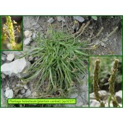 Plantain caréné - Plantago holosteum - 3237