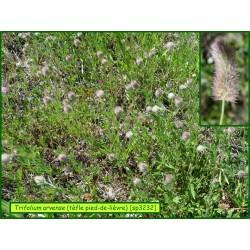 Trèfle pied de lièvre - Trifolium arvense - 3207