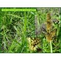 Carex queue de renard - Carex vulpina - 802