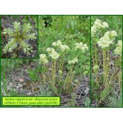 Orpin réfléchi à fleurs jaune pâle - Sedum rupestre var. albescens - 3238