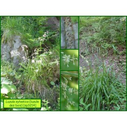 Luzule des bois - Luzula sylvatica - 3214