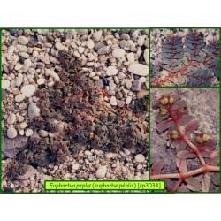 Euphorbe péplis - Euphorbia peplis - 3034