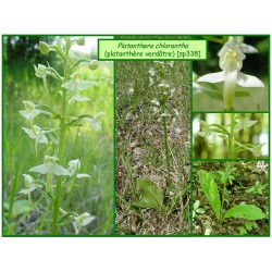 Platanthère verdâtre - Platanthera chlorantha - 338-441