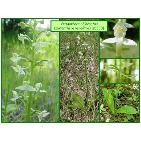 Platanthère verdâtre - Platanthera chlorantha - 338