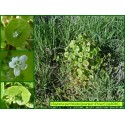 Pourpier d'hiver - Claytonia perfoliata -  3036