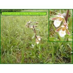 Épipactis des marais - Epipactis palustris - 3037