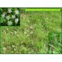 Conopode dénudé - Conopodium majus - 3003