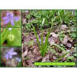 Scille à deux feuilles - Scilla bifolia - 831