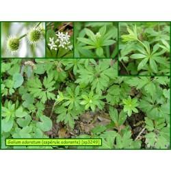 Aspérule odorante - Galium odoratum - 3249