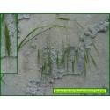Brome stérile - Bromus sterilis - 834