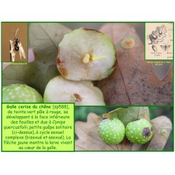 Galle cerise du chêne - Cynips quercusfolii - 588