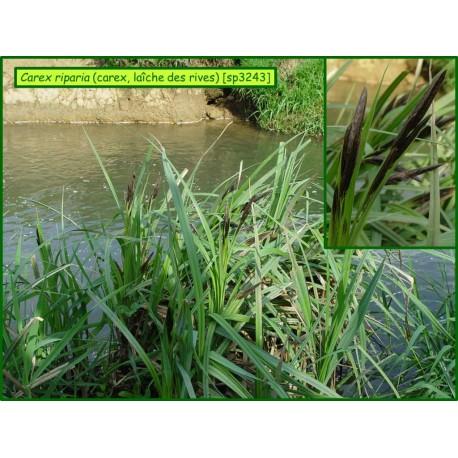 Laîche des rives - Carex riparia - 3243