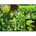 Dorine à feuilles alternes - Chrysosplenium alternifolium - 3247