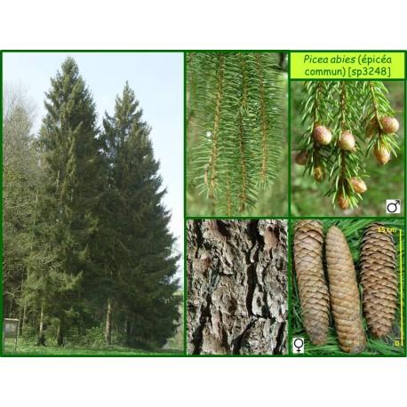 Épicéa commun - Picea abies - 3248