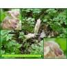 Lathrée écailleuse - Lathraea squamaria - 3246
