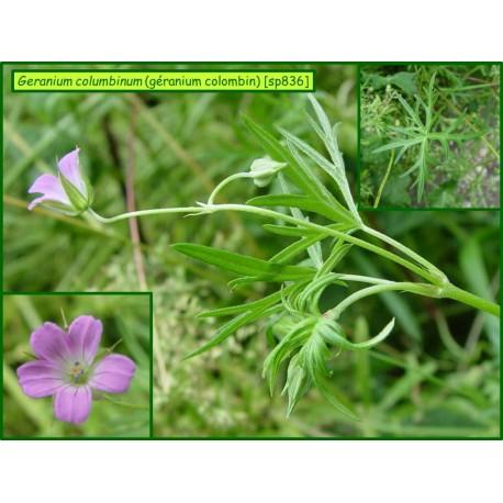 Géranium colombin - Geranium columbinum - 836