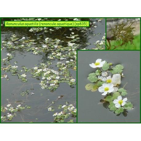 Renoncule aquatique - Ranunculus aquatilis - 835