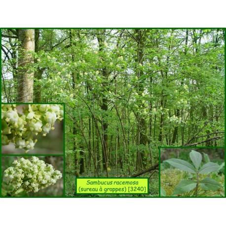Sureau à grappes - Sambucus racemosa - 3240