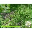 Stellaire des bois - Stellaria sylvestris - 3241