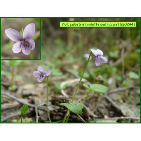 Violette des marais - Viola palustris - 3244