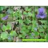 Violette de Rivin - Viola riviniana - 3245