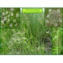 Carvi verticillé - Carum verticillatum - 837
