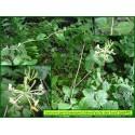 Chèvrefeuille des bois - Lonicera periclymenum - 845