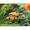 Tubifère ferrugineux - Tubifera ferruginosa - 5032