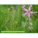 Lychnis fleur de coucou - Silene flos-cuculi - 838