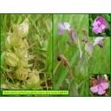 Pédiculaire des bois - Pedicularis sylvatica - 843