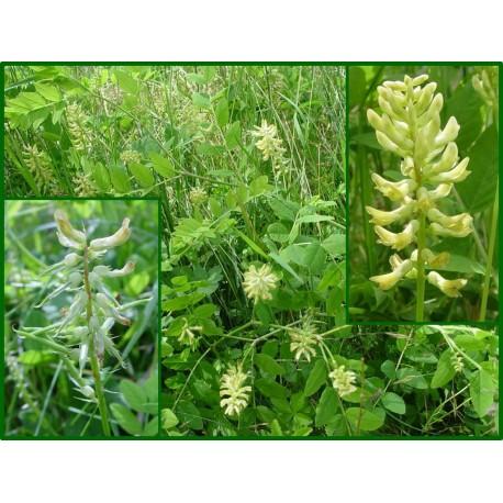 Astragale à feuille de réglisse - Astragalus glycyphyllos - 443