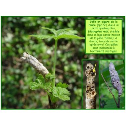 Galle en cigare de la ronce - Diatrophus rubi - 672