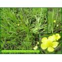 Renoncule flammette - Ranunculus flammula - 840