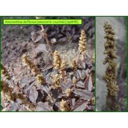 Amaranthe couchée - Amaranthus deflexus - 848