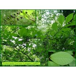 Cerisier à grappes - Prunus padus - 852