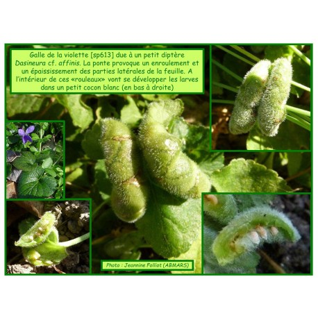 Galle de la violette - Dasineura cf. affinis - 613