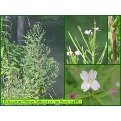Épilobe à petites fleurs - Epilobium parviflorum - 851