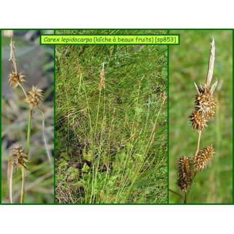 Laîche à beaux fruits - Carex lepidocarpa - 853