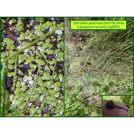 Lentille d'eau à plusieurs racines - Spirodela polyrhiza - 855