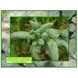Galle de la gesse à large feuille - Anabremia bellevoyei - 596