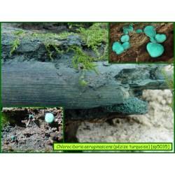 Pézize turquoise - Chlorociboria aeruginascens - 5035