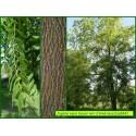 Noyer noir d'Amérique - Juglans nigra - 868