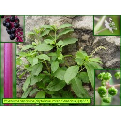 Phytolaque-raisin d'Amérique - Phytolacca americana - 867