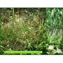 Spargoute des champs - Spergula arvensis - 849