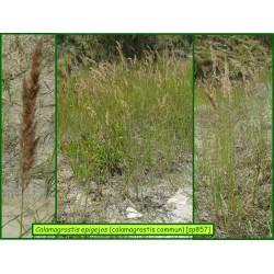 Calamagrostide commun - Calamagrostis epigejos - 857