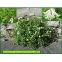 Corydale blanchâtre - Pseudofumaria alba - 869