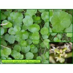 Écuelle d'eau - Hydrocotyle vulgaris - 856