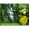 Épervière de Lachenal - Hieracium lachenalii - 863