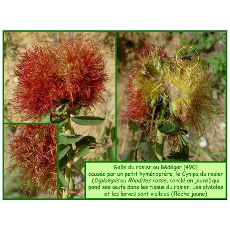 Galle du rosier - Bédégar - Diplolepis rosae - 490