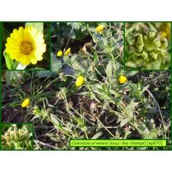 Souci des champs - Calendula arvensis - 870